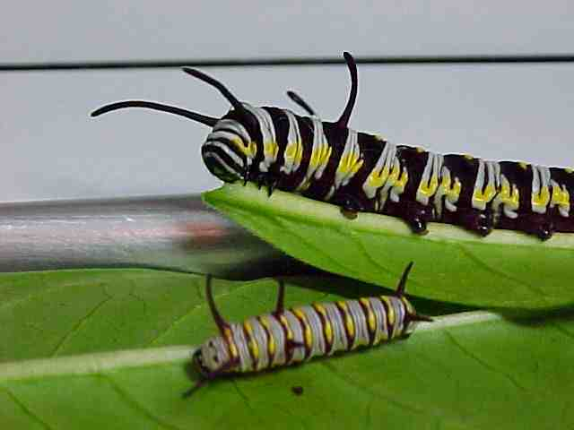 Queen larvae, dark and light